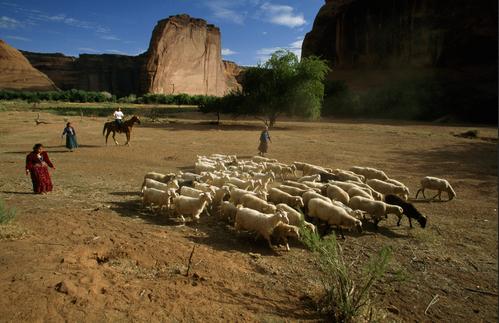 sheep herdingpng