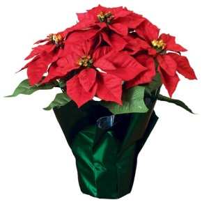 Potted-Poinsettia-Plant-
